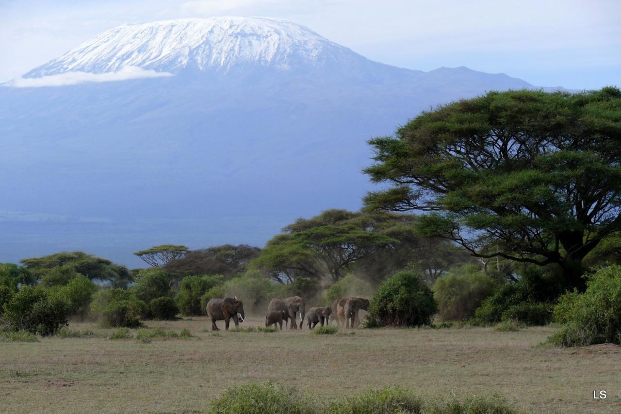 Éléphant d'Afrique/African Savanna Elephant (2)