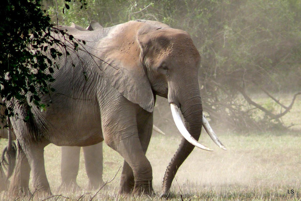 Éléphant d'Afrique/African Savanna Elephant (3)
