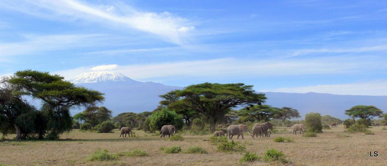 Éléphant d'Afrique/African Savanna Elephant (4)
