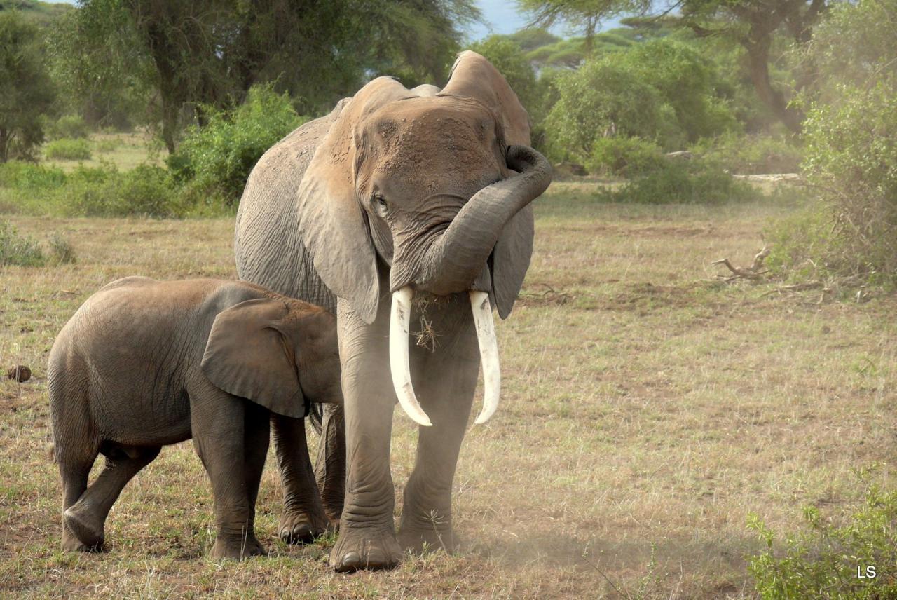 Éléphant d'Afrique/African Savanna Elephant (5)