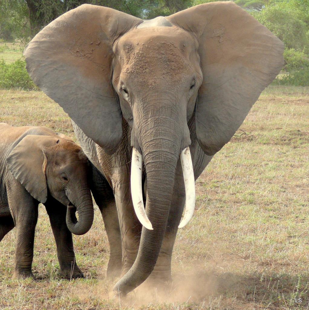 Éléphant d'Afrique/African Savanna Elephant (6)