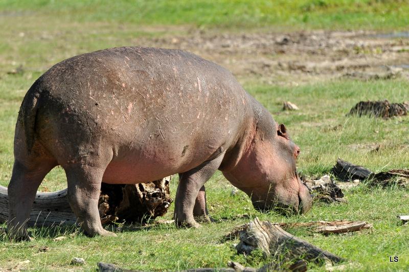 Hippopotame/Hippopotamus( 6)