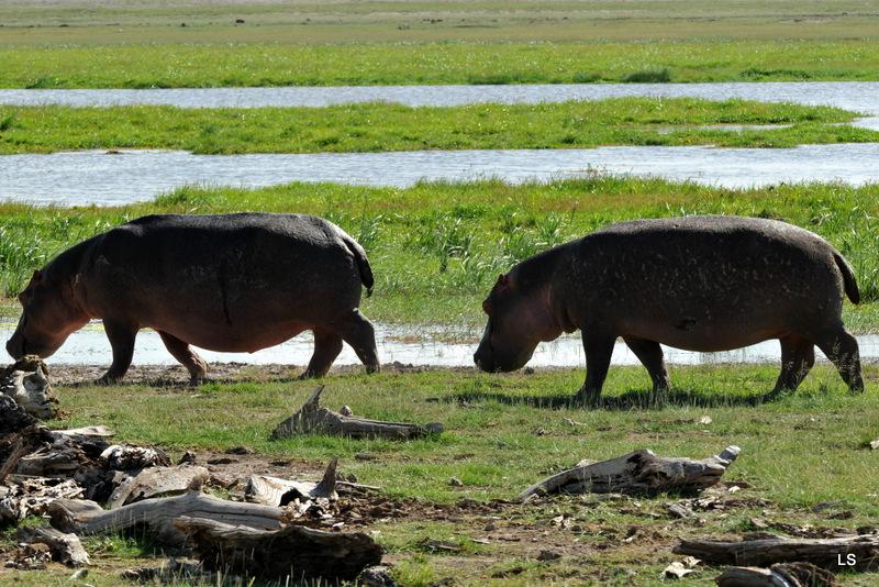 Hippopotame/Hippopotamus (7)