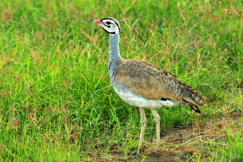 Outarde/Bustard (1)