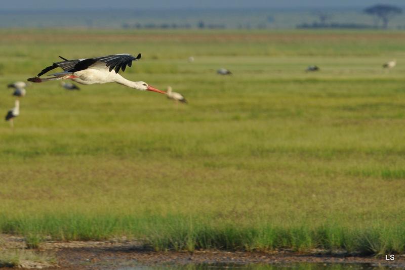 Cigogne blanche/White Stork (2)