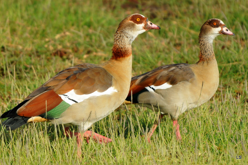 Ouette d'Egypte/Egyptian Goose (2)