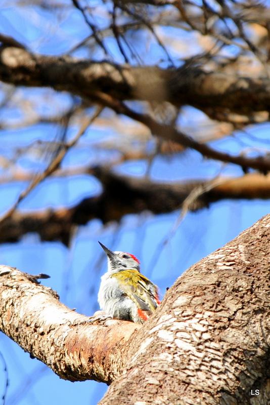Pivert/Woodpecker (1)