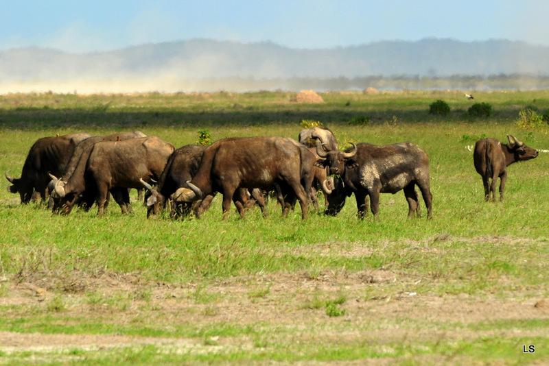 Buffle du Cap/Cape Buffalo (8