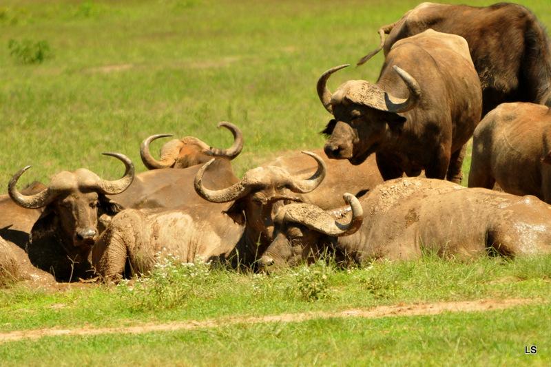 Buffle du Cap/Cape Buffalo (2)