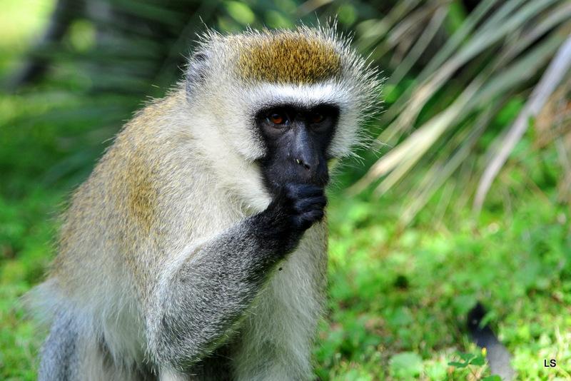 Vervet/Vervet monkey (2)