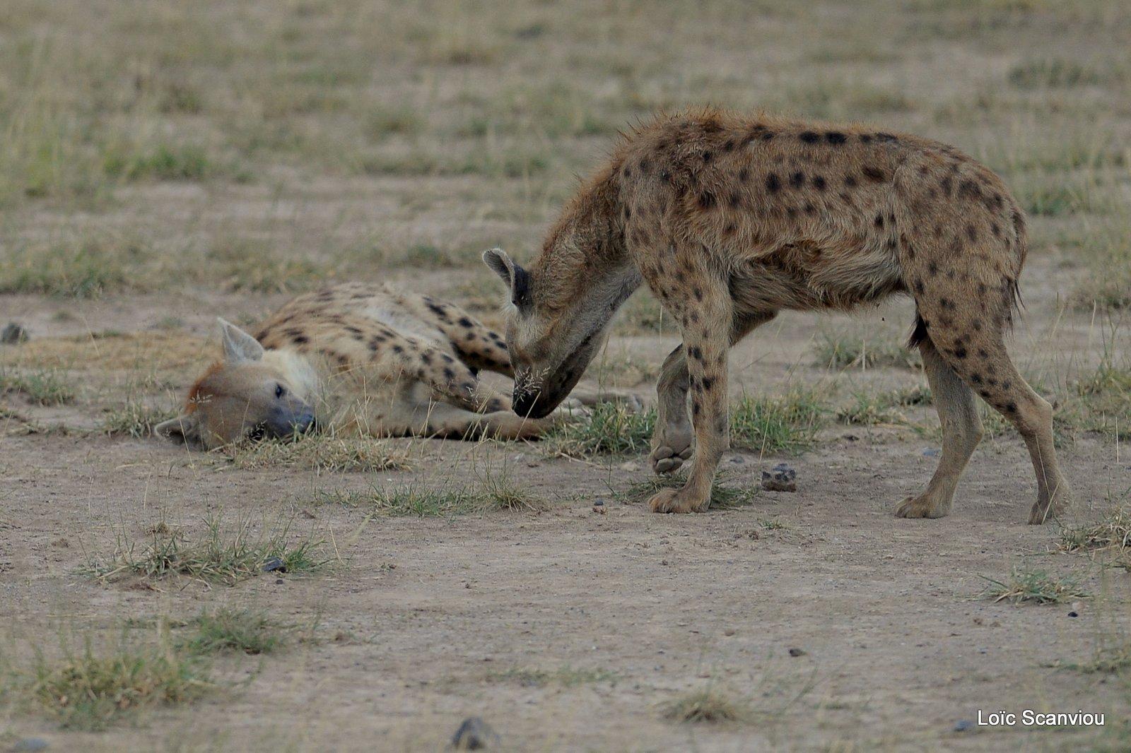 Hyène tachetée/Spotted Hyena (2)