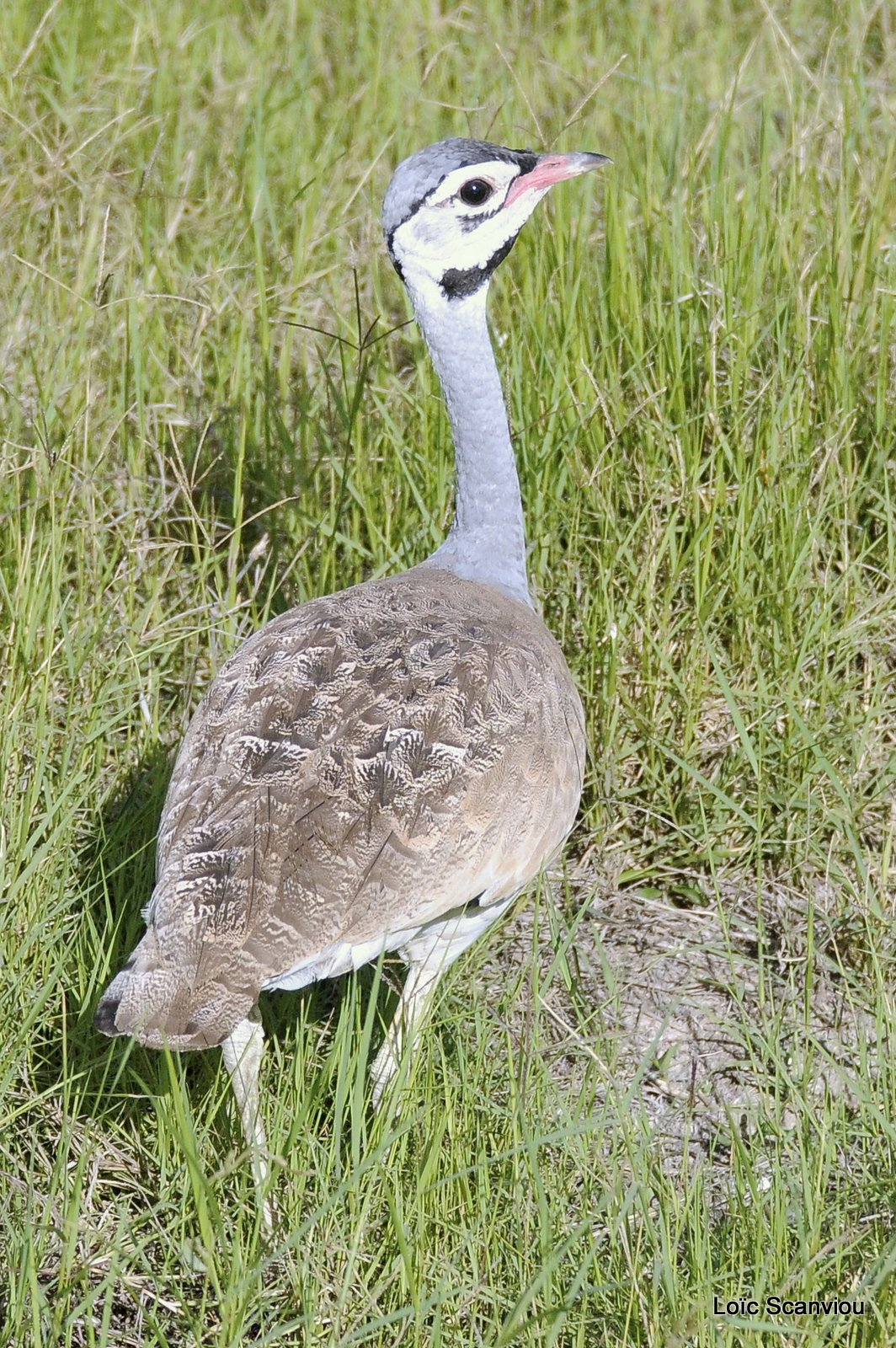 Outarde du Sénégal/White-bellied Bustard (1)