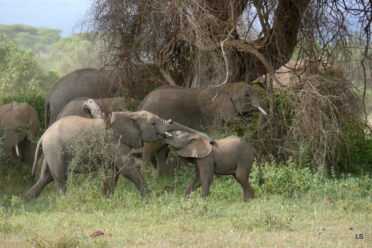 Éléphant d'Afrique/African Savanna Elephant (7)