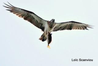Balbuzard pêcheur/Osprey (1)