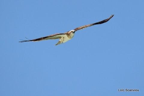 Balbuzard pêcheur/Osprey (3)