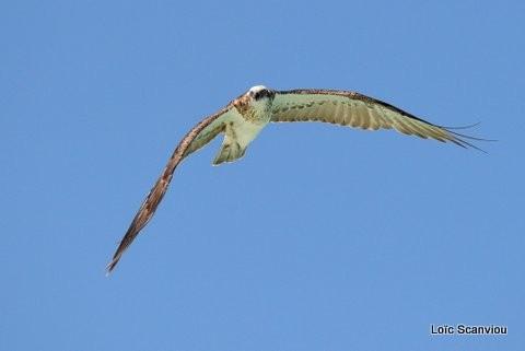 Balbuzard pêcheur/Osprey (4)