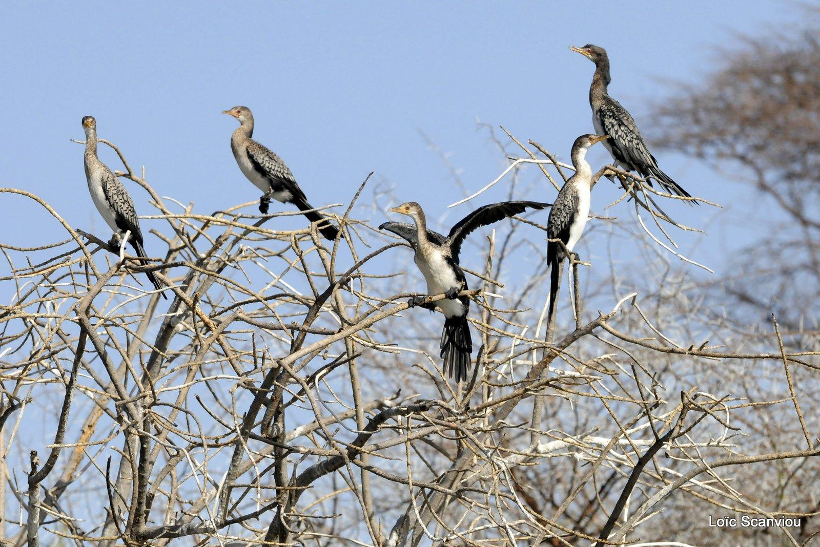 Cormoran/Cormorant (1)