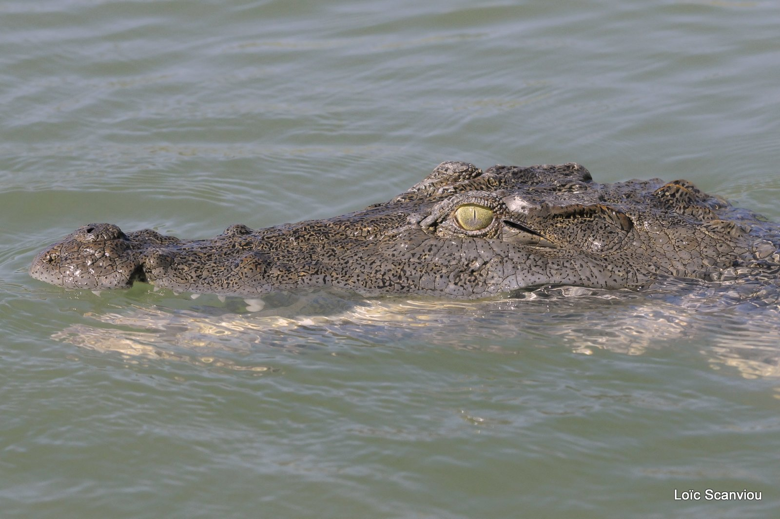 Crocodile (5)