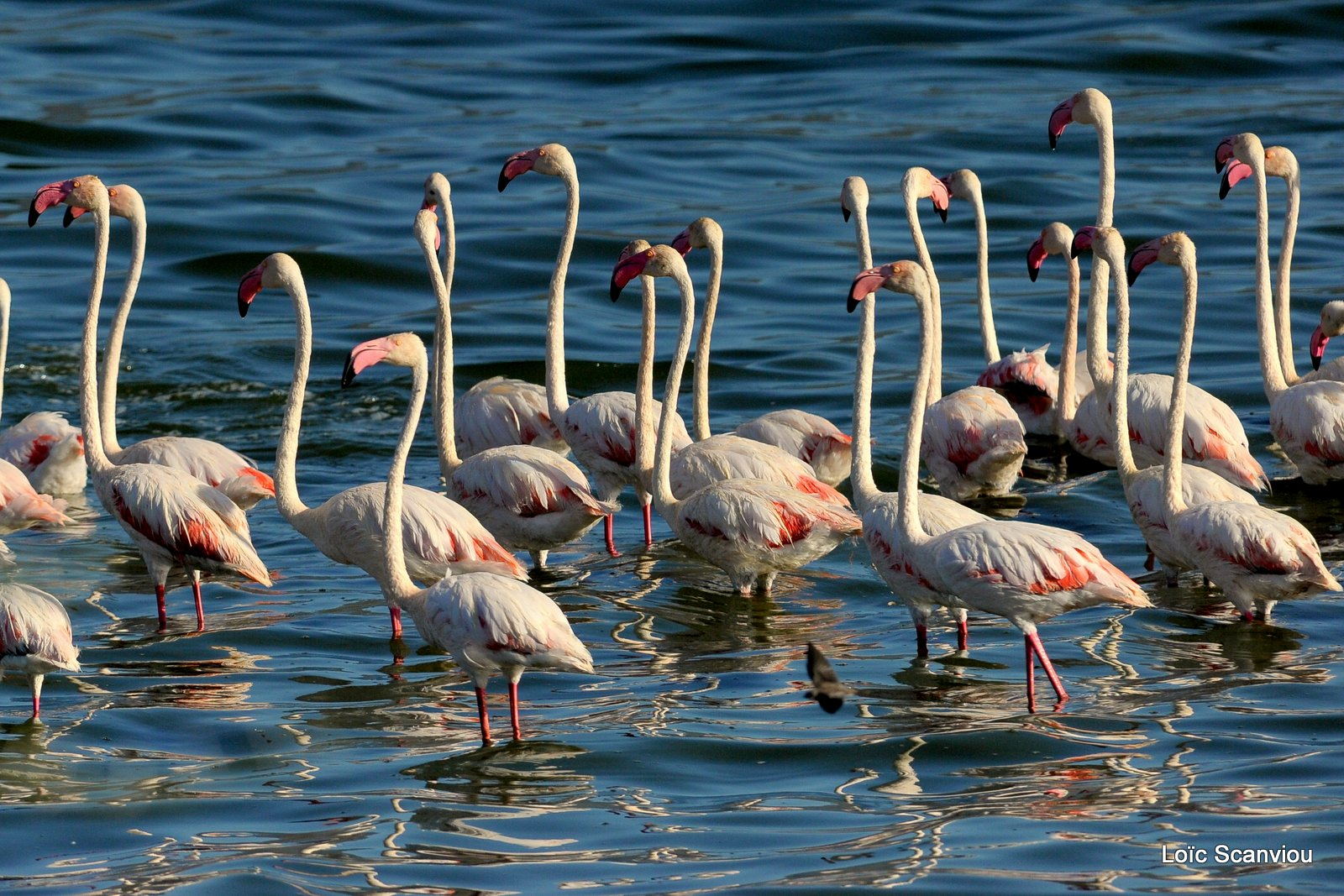 Flamants roses/Flamingoes (4)