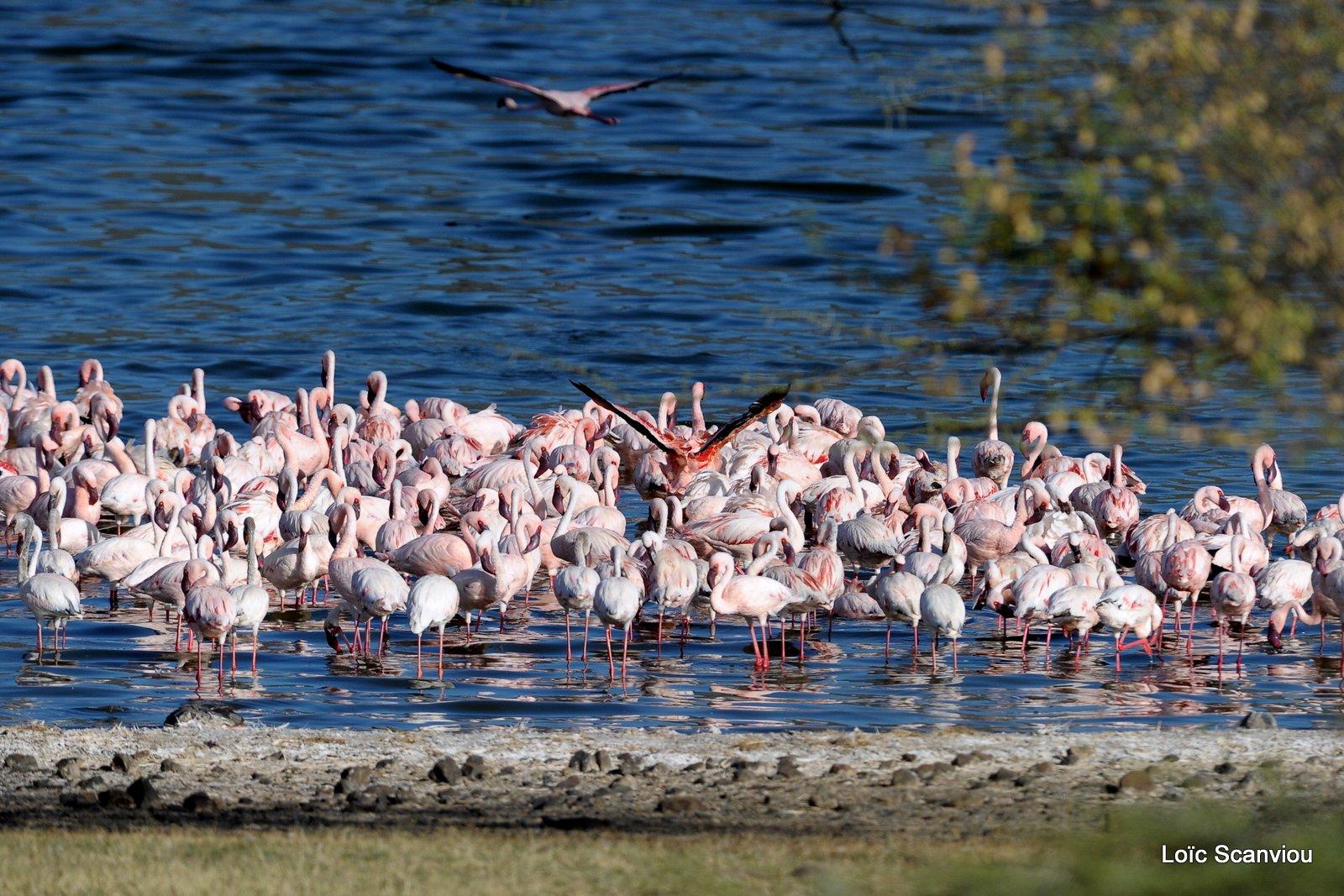 Flamants roses/Flamingoes (5)