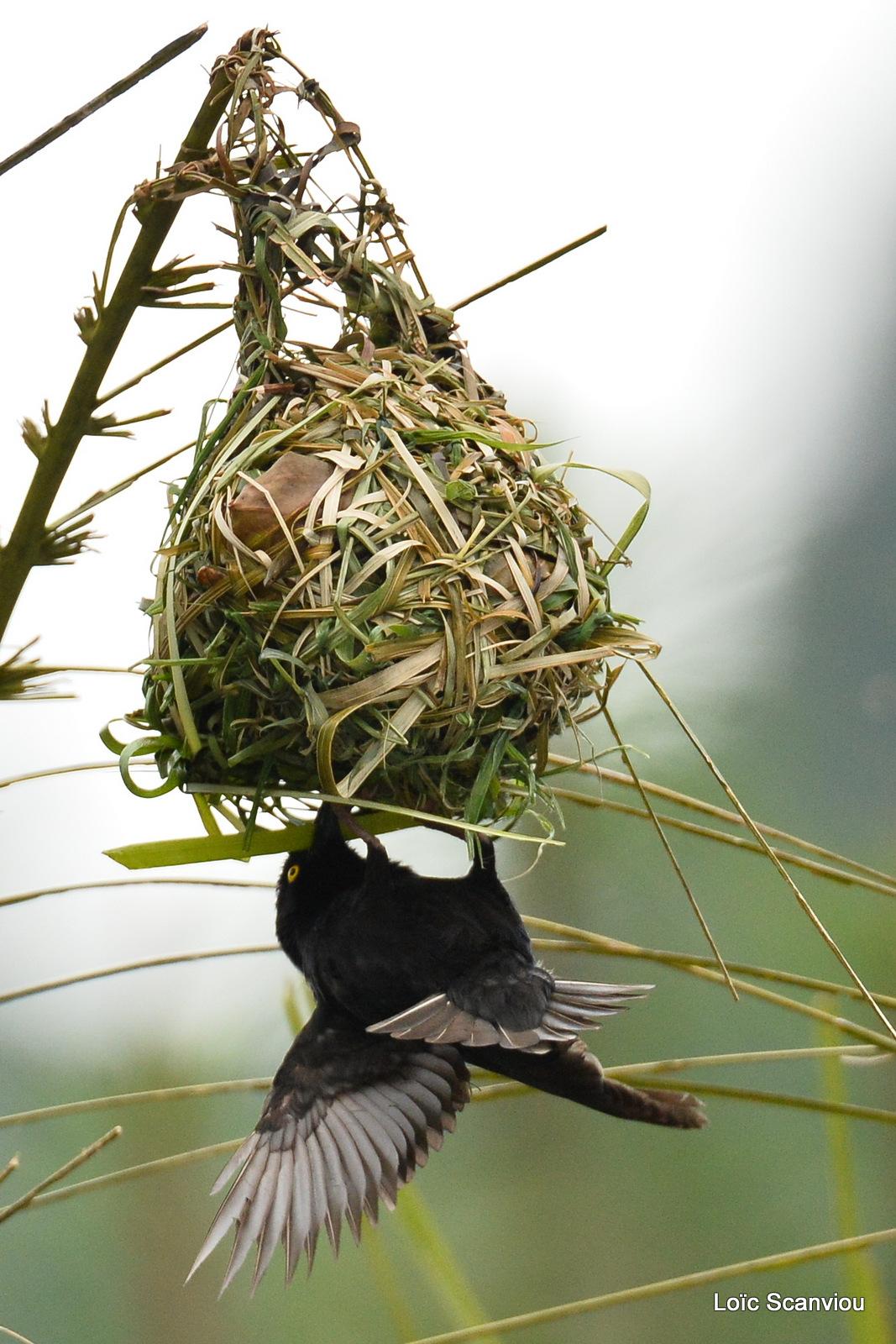 Tisserin noir/Vieillot's Black Weaver (1)