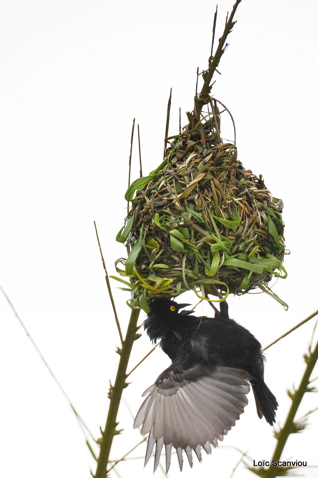 Tisserin noir/Vieillot's Black Weaver (2)