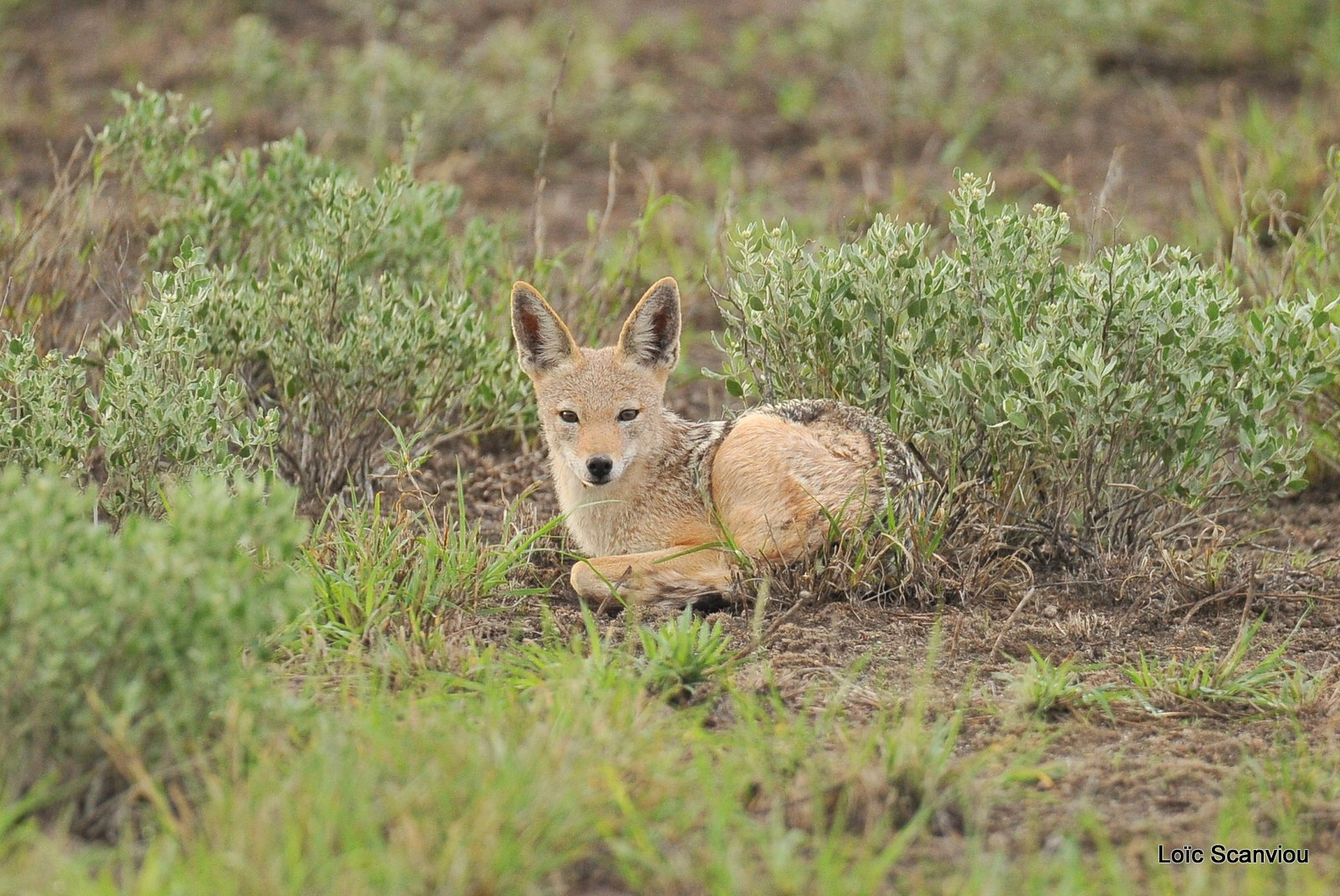 Chacal à chabraque/Black-backed Jackal (1)