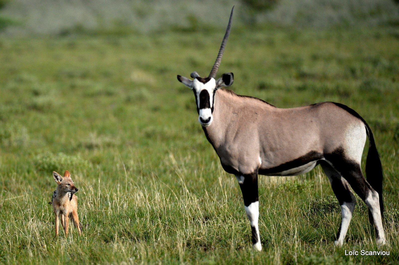 Oryx gazelle/Gemsbok (10)