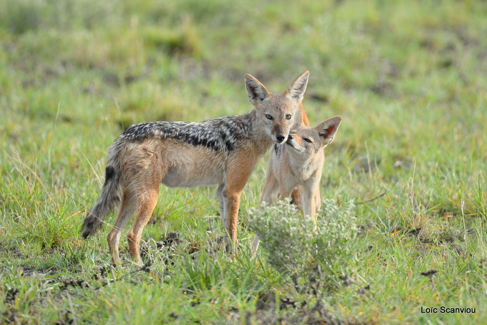 Chacal à chabraque/Black-backed Jackal (9)