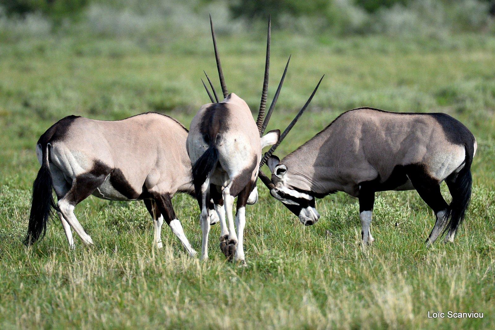 Oryx gazelle/Gemsbok (14)