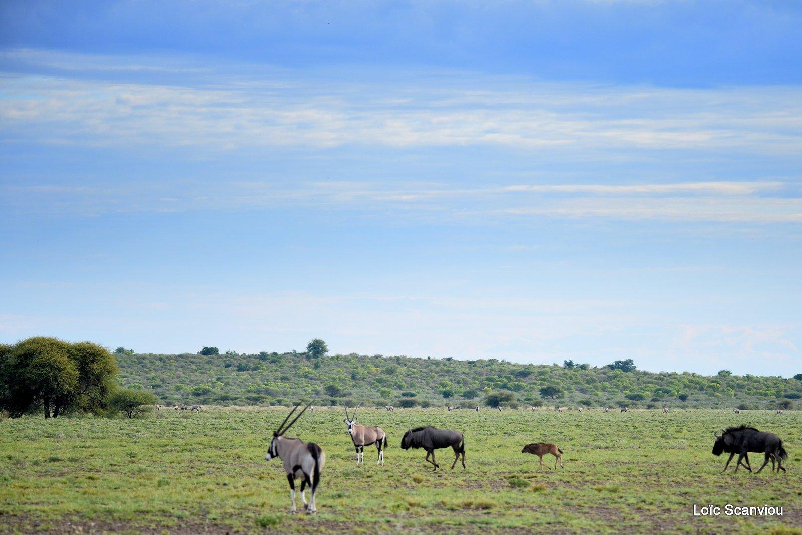 Oryx et gnous/Gemsbok and wildebeests (1)