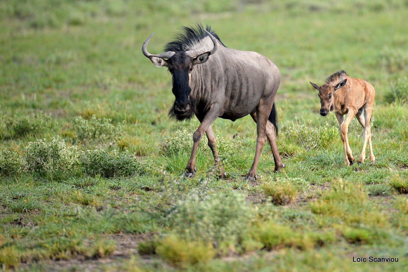 Gnou bleu/Wildebeest (3)