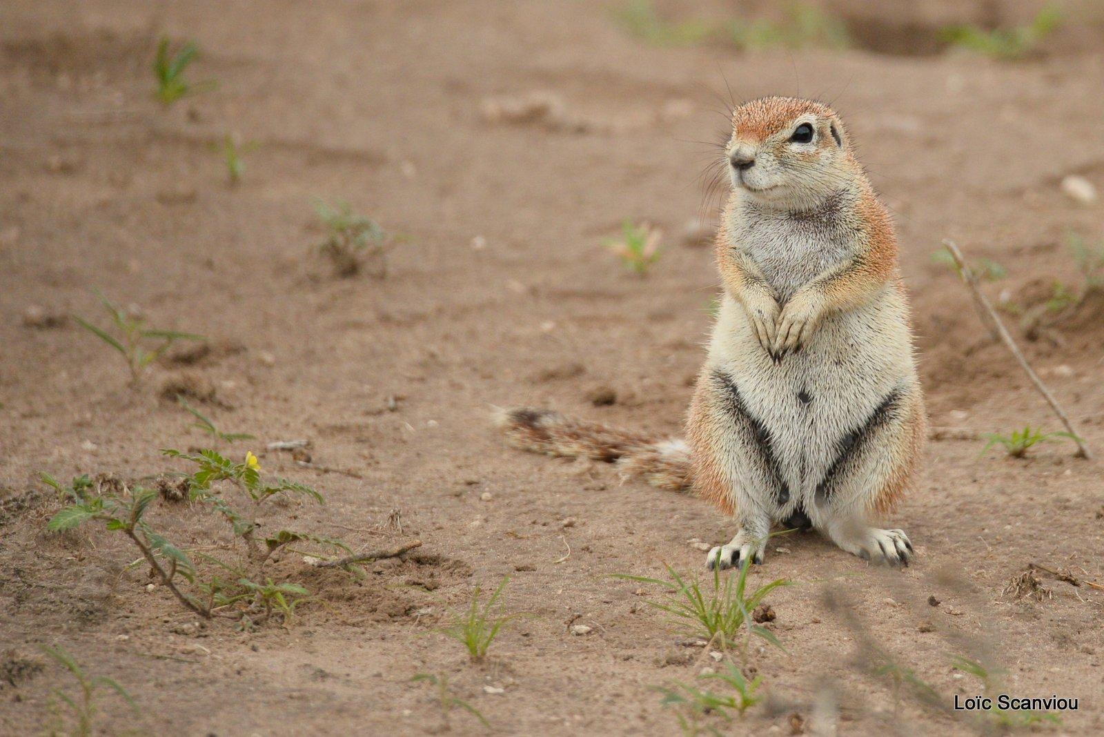 Écureuil terrestre du Cap/Cape Ground Squirrel (3)
