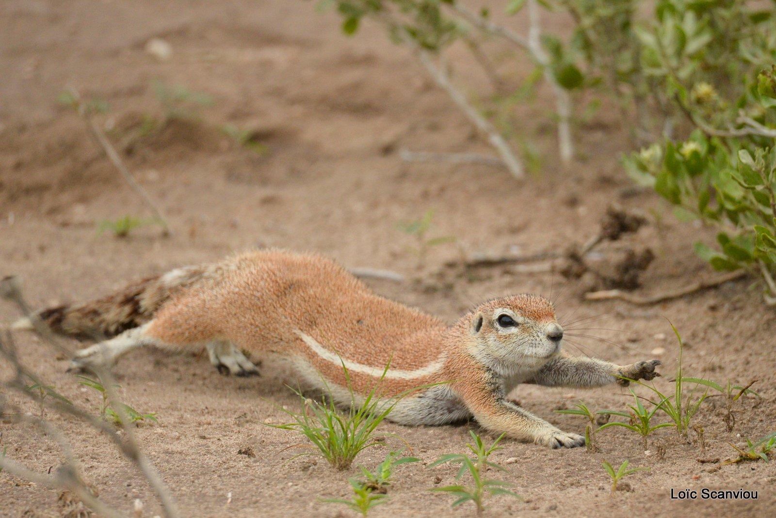 Écureuil terrestre du Cap/Cape Ground Squirrel (4)