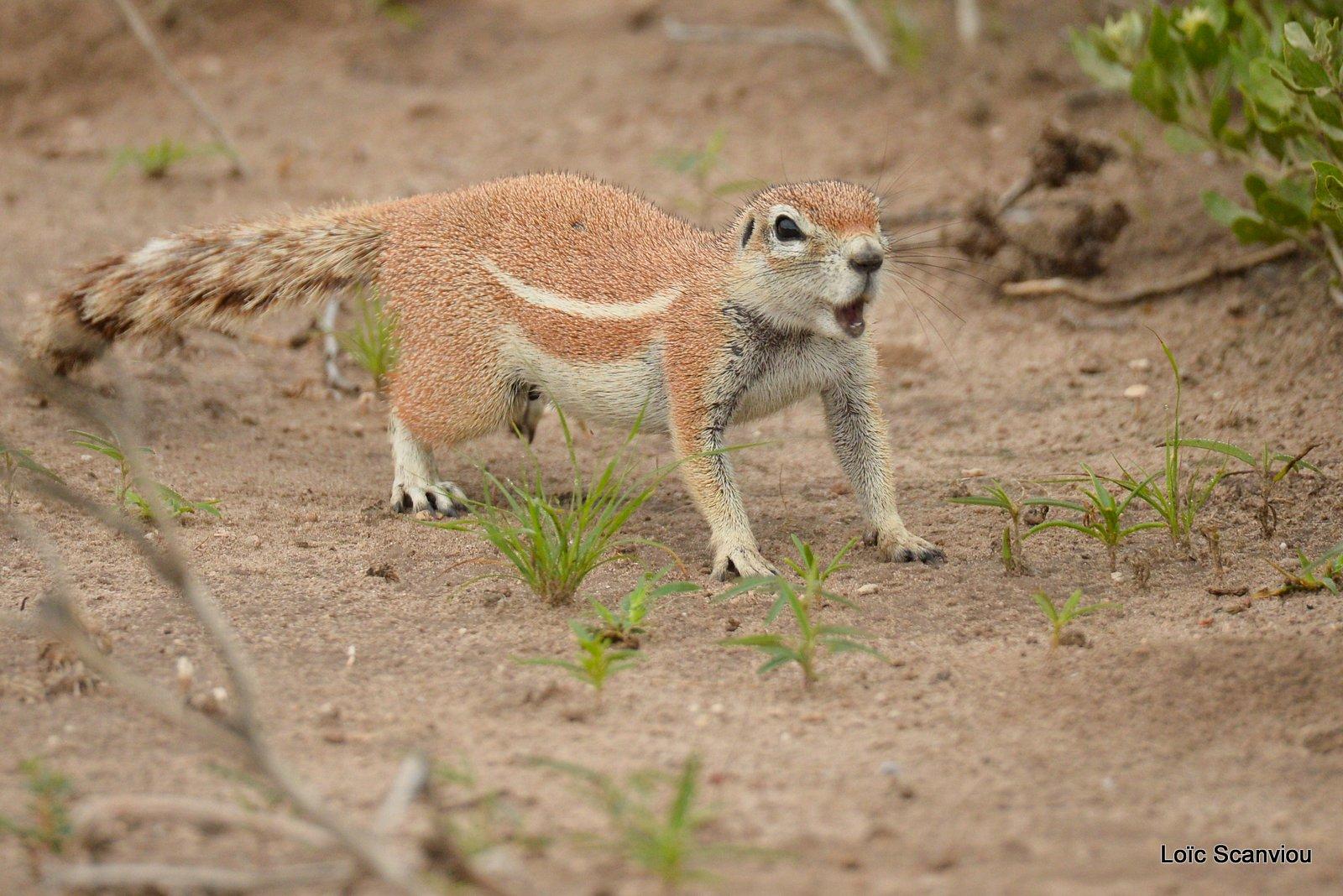Écureuil terrestre du Cap/Cape Ground Squirrel (5)