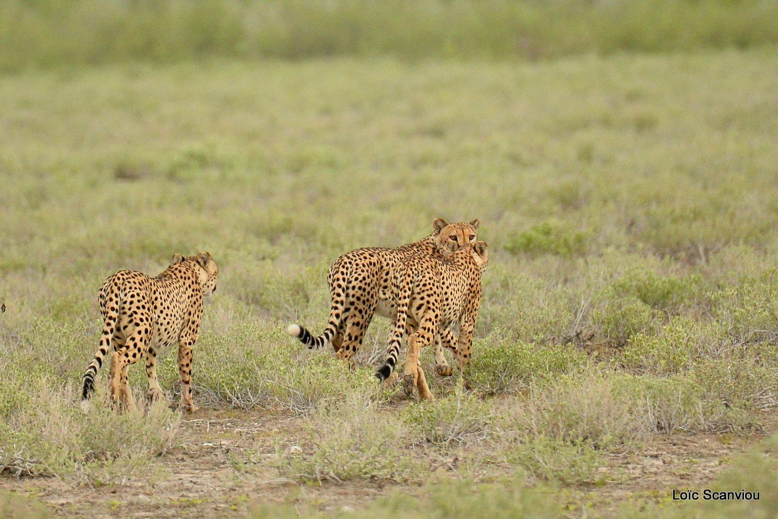 Guépard/Cheetah (9)