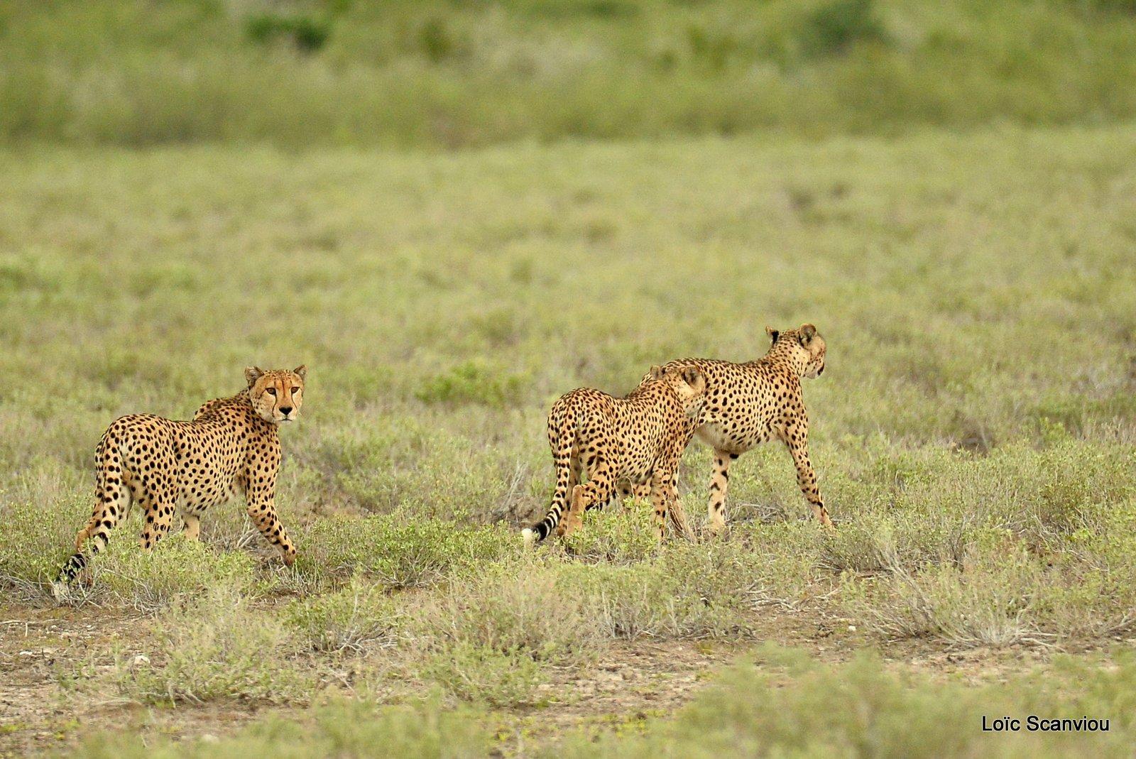 Guépard/Cheetah (10)