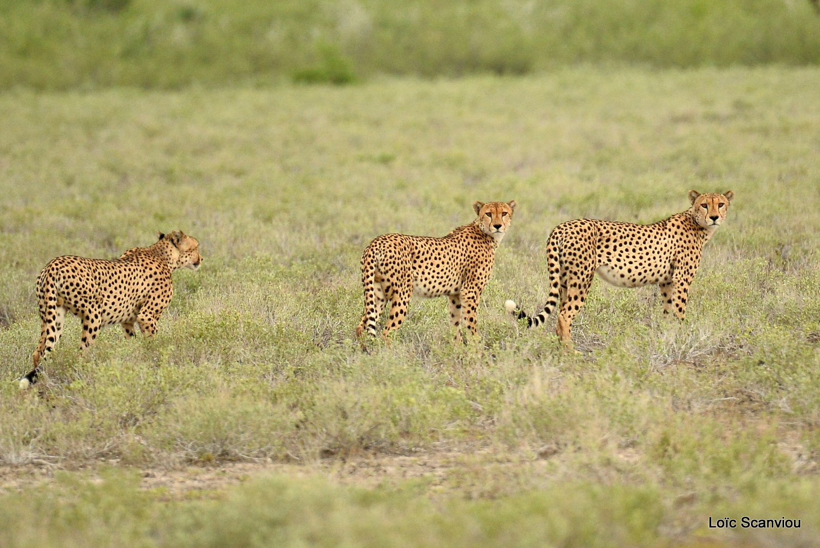 Guépard/Cheetah (11)