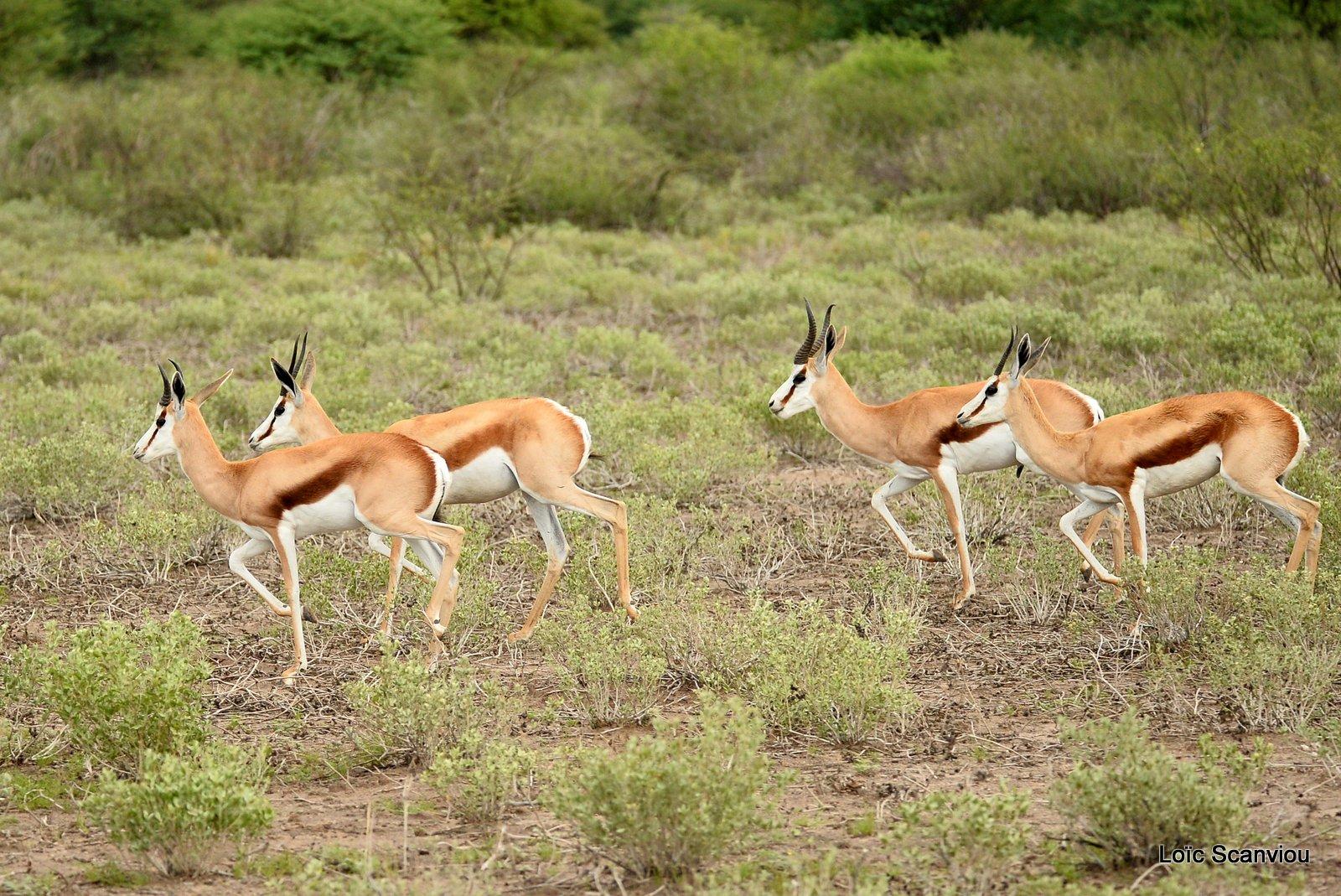 Springbok (6)