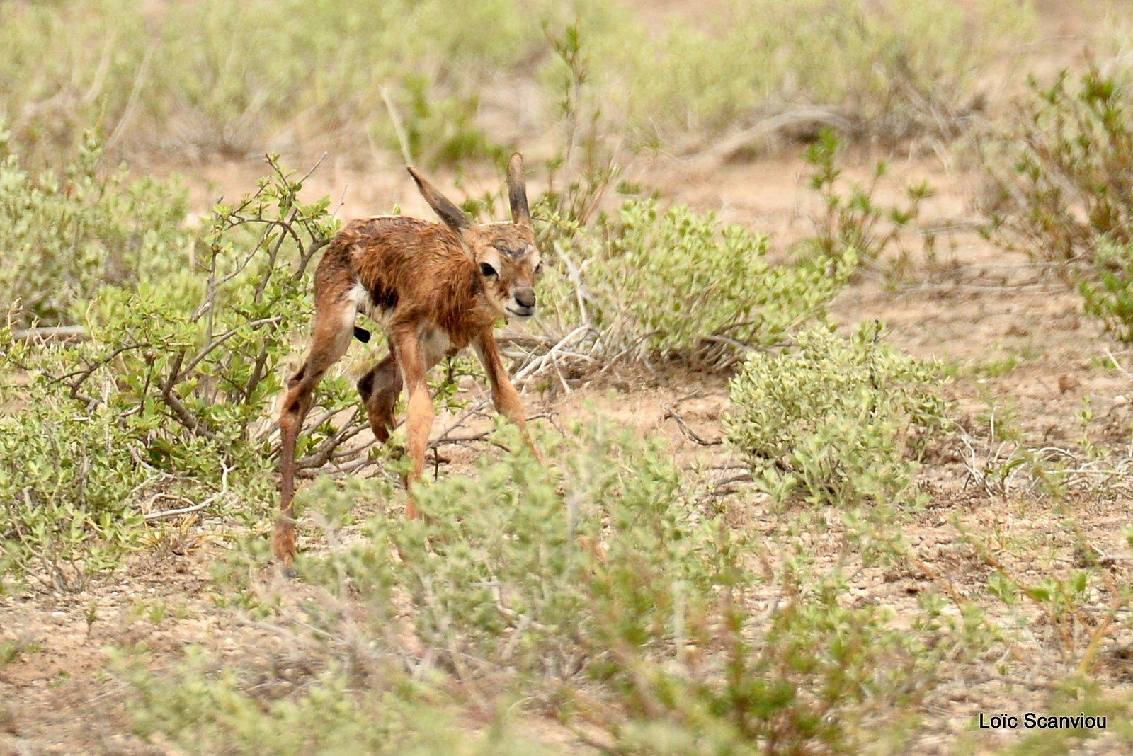 Springbok (9)