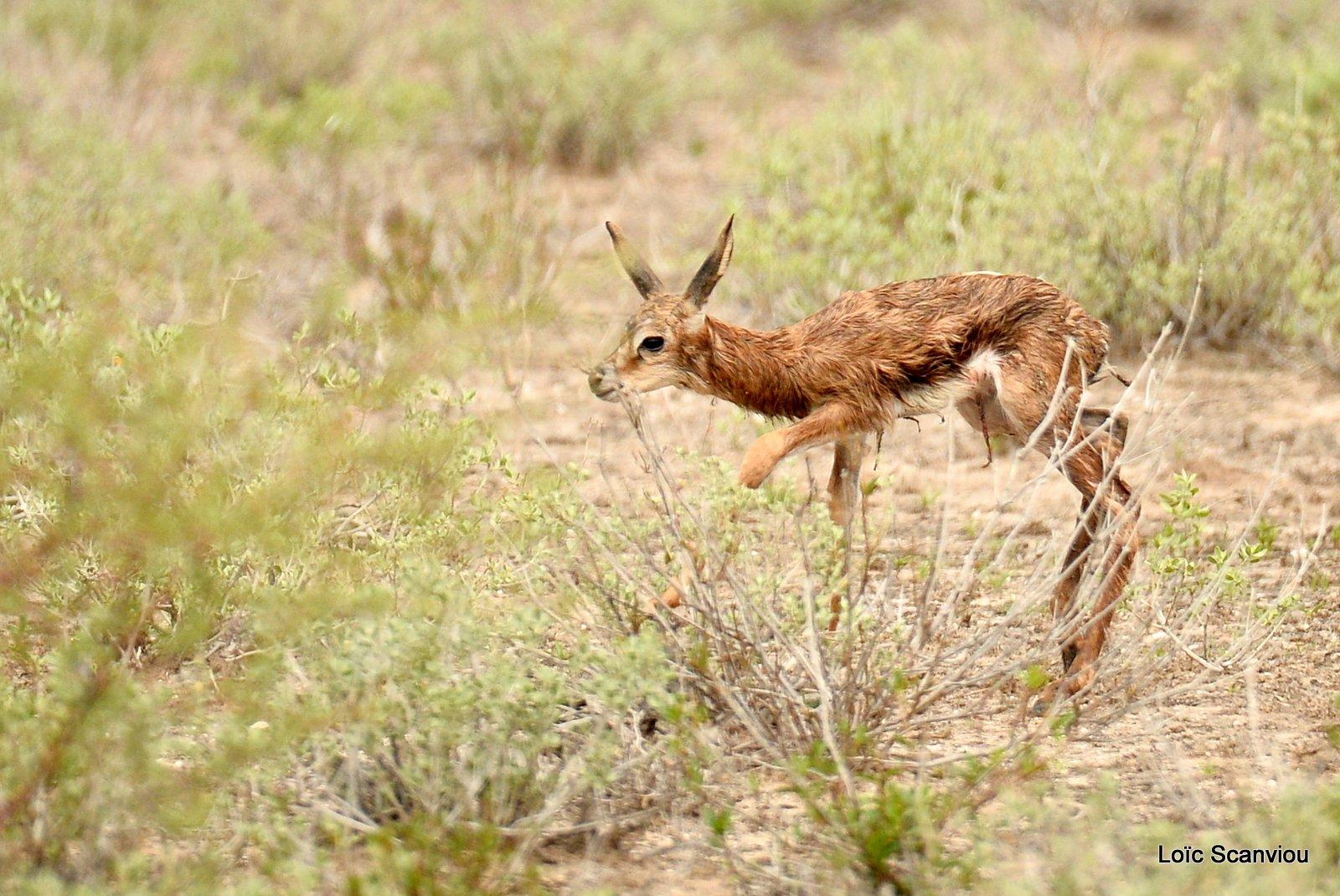 Springbok (10)