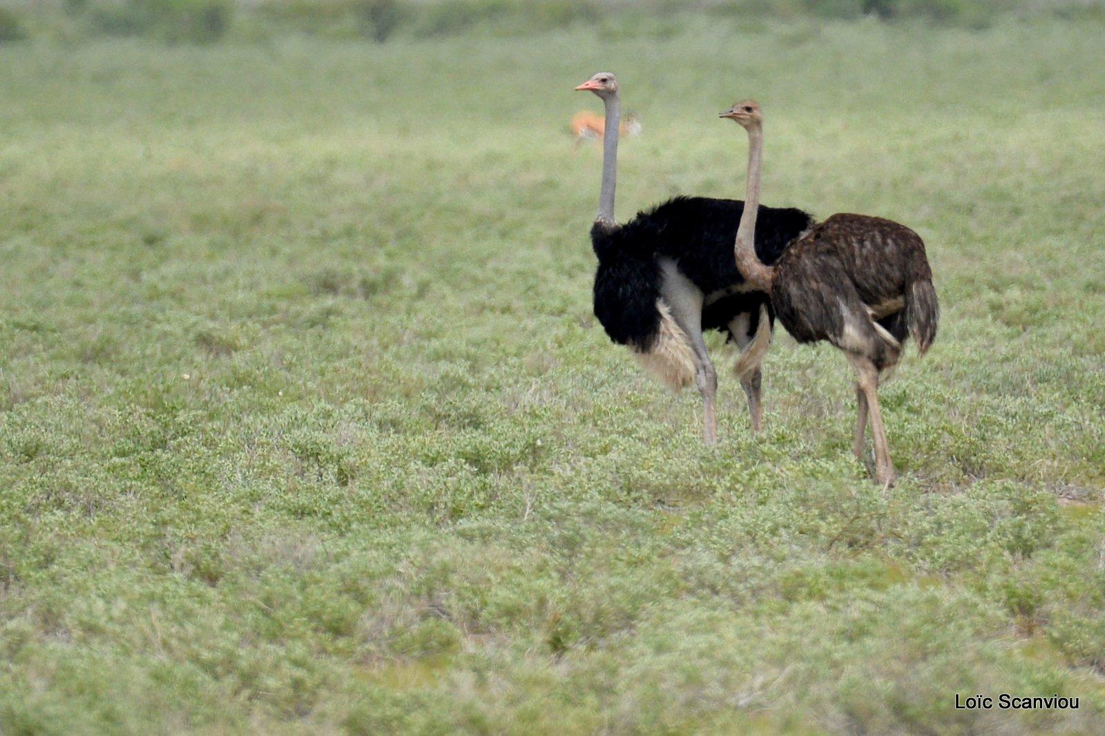 Autruche d'Afrique/Common Ostrich (1)