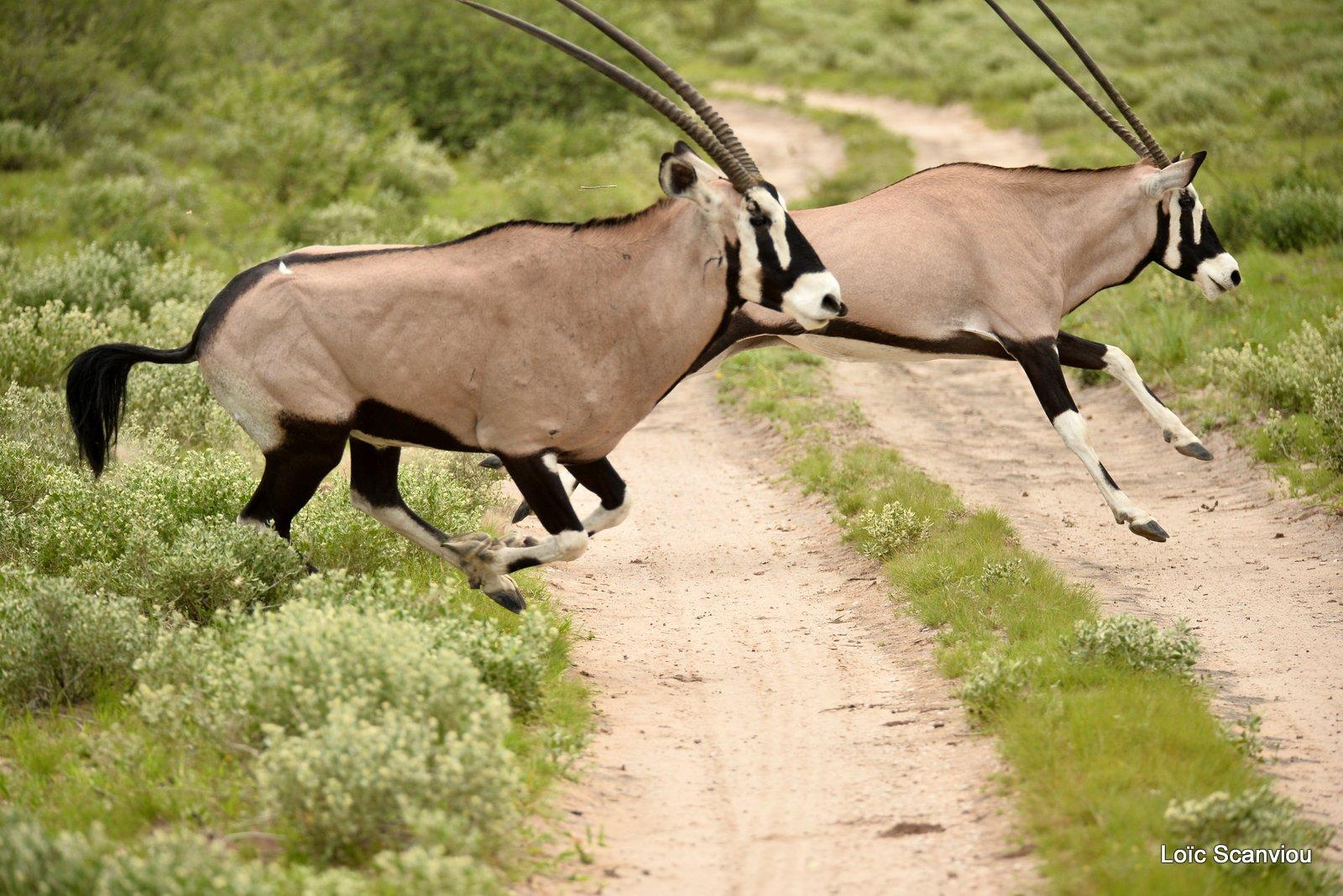 Oryx gazelle/Gemsbok (15)