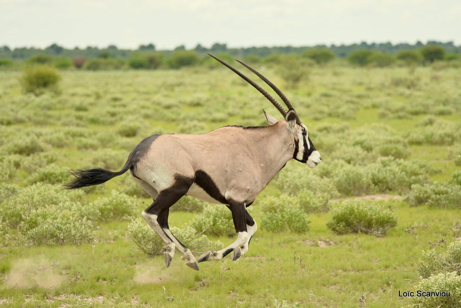 Oryx gazelle/Gemsbok (16)