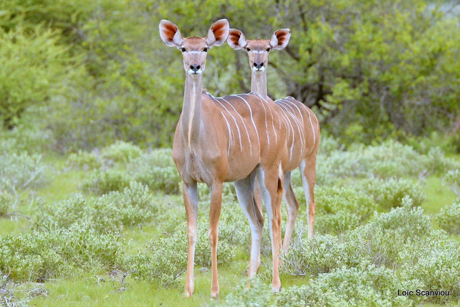 Grand koudou/Greater Kudu (4)