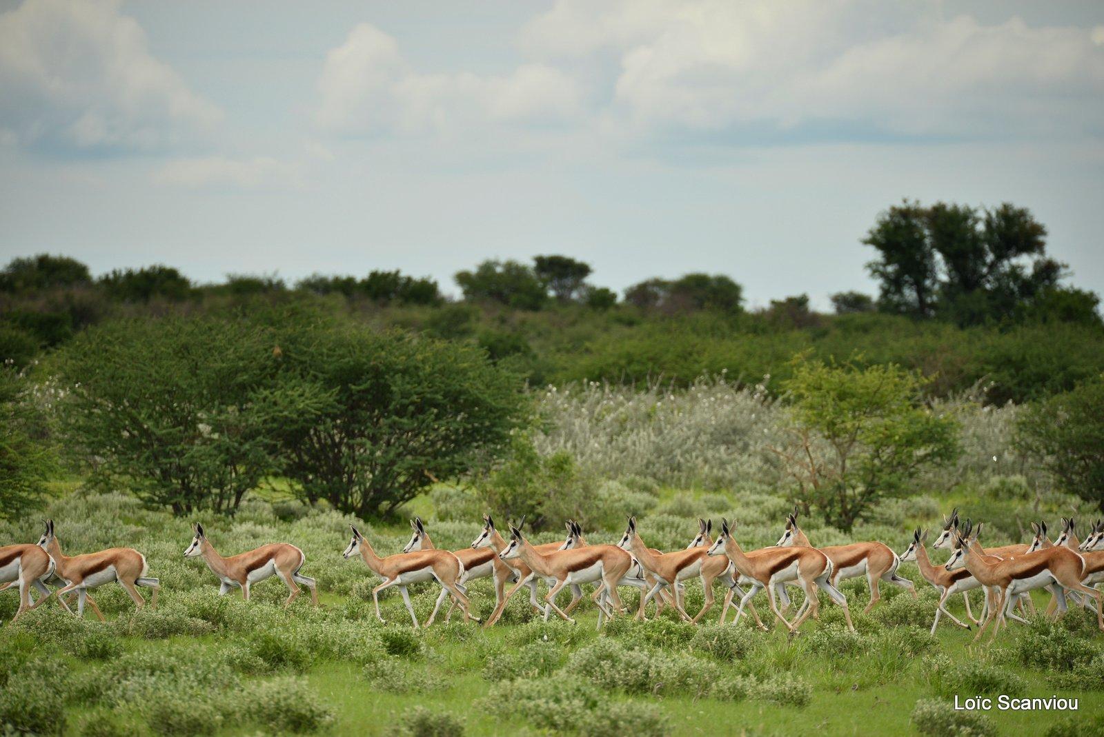 Springbok (17)
