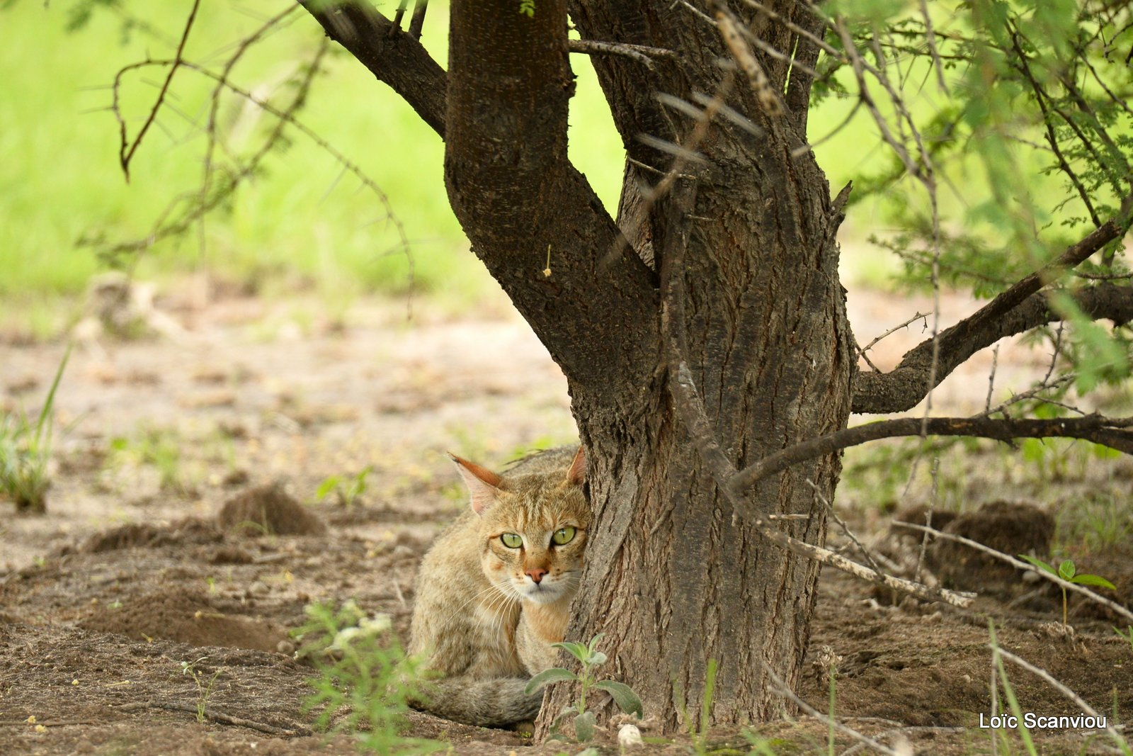 Chat sauvage d'Afrique/African Wild Cat (1)