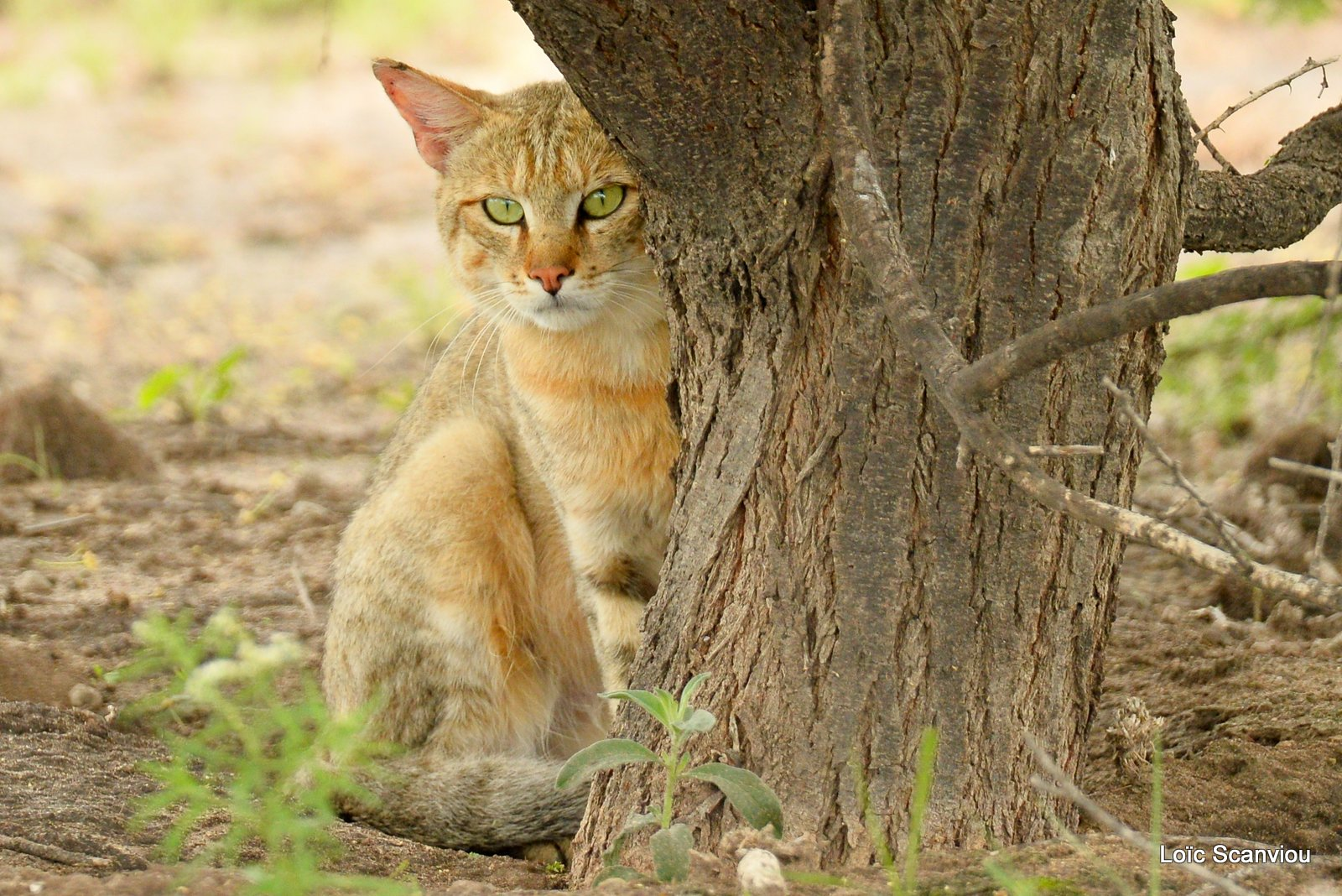 Chat sauvage d'Afrique/African Wild Cat (2)