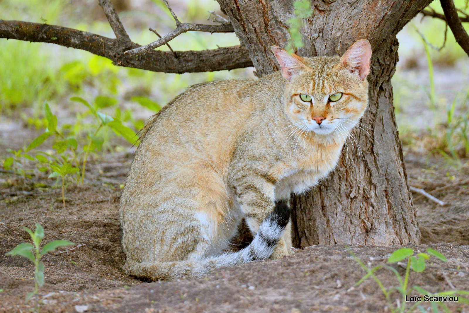 Chat sauvage d'Afrique/African Wild Cat (3)