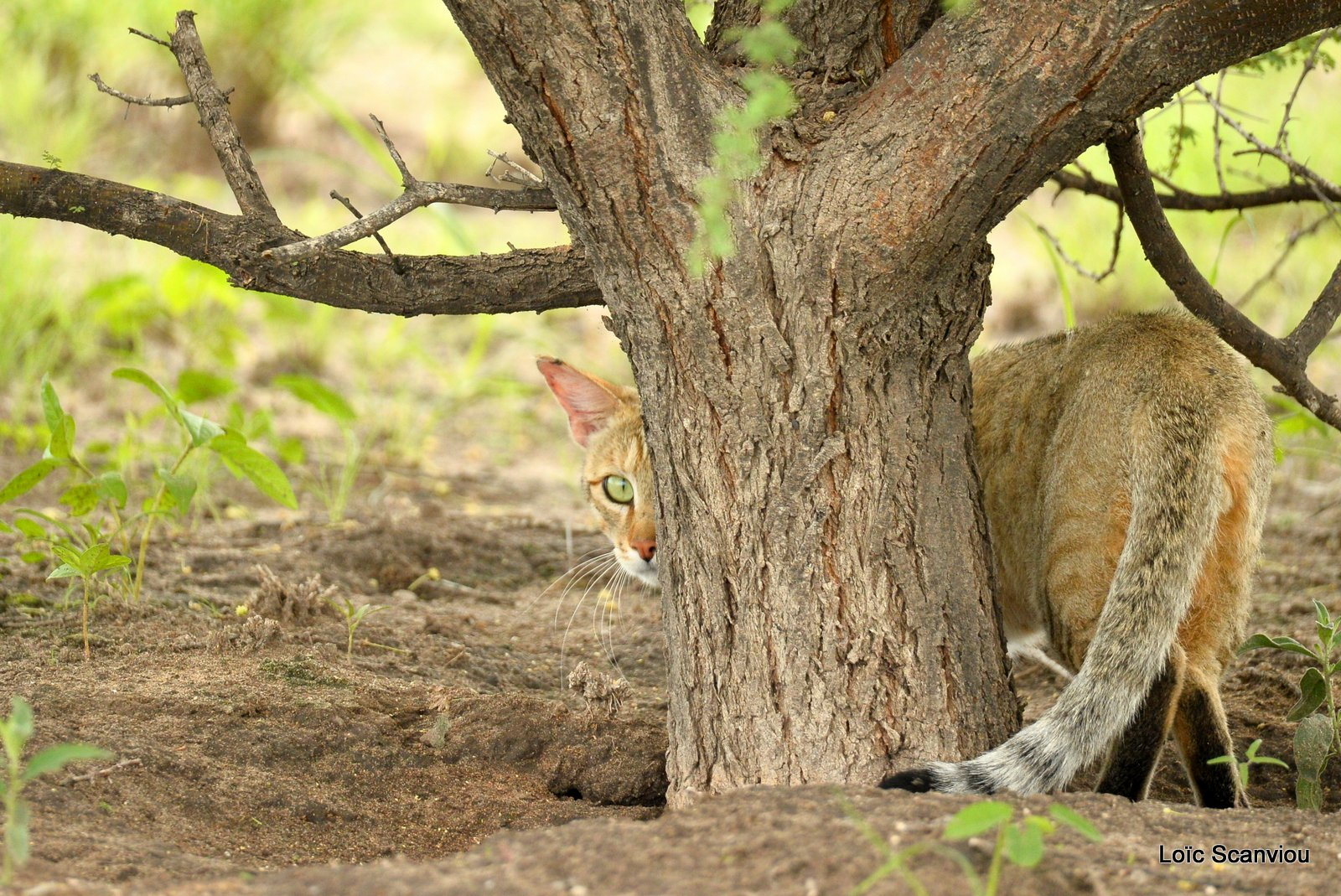 Chat sauvage d'Afrique/African Wild Cat (4)